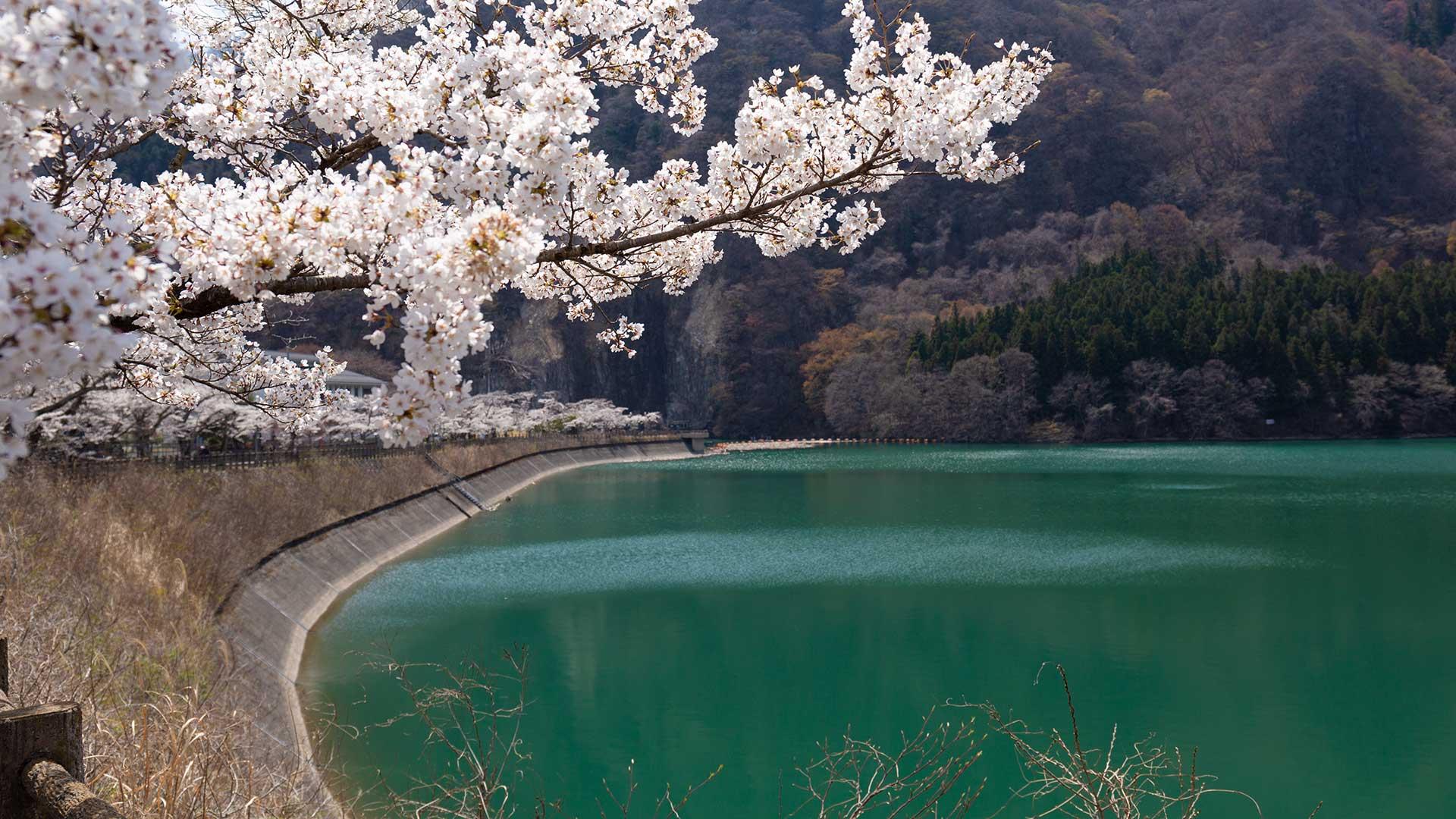 桜が満開の赤谷湖